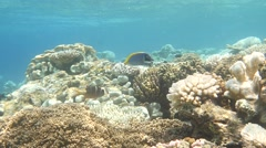 Surgeon shallow bleached reef Stock Footage
