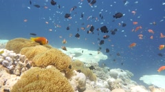Colourful anemone reef Stock Footage