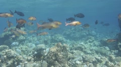 Red snapper aggregation coral reef Stock Footage