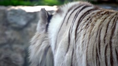 White tiger in the zoo Stock Footage
