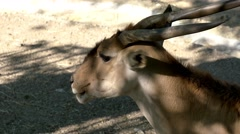 Antelope in the grasslands Stock Footage