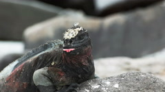 Extreme close up of marine iguana opening its mouth in the galapagos Stock Footage