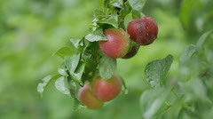 Cherry-plum plums on the tree leaves and green nature background Stock Footage