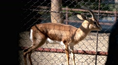 Antelope in the cage Stock Footage