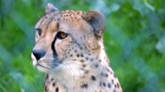 Beautiful Cheetah resting in zoo Stock Footage