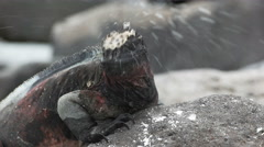 Slow motion shot of salt spray coming from a marine iguana on isla espanola Stock Footage