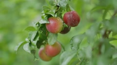 Cherry-plum plums on the tree leaves and nature green background Stock Footage