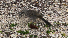 Mockingbird searching for food on isla espanola in the galapagos Stock Footage