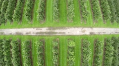 Aerial top down view of orchard showing a large field with fruit trees 4k Stock Footage