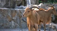 West caucasian tur goat Stock Footage