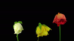 Time-lapse of drying three roses winter bouquet in RGB + ALPHA matte format Stock Footage