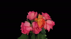 Time-lapse of dying red roses in RGB + ALPHA matte format Stock Footage