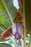 Banana flower on the tree, Ecuador Stock Photos