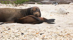 Close up of mother and baby sea lion on a beach at isla genovesa Stock Footage