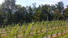 Ultra modern new vineyard in August Stock Footage