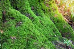 Close up of Moss on tree in deep forest. Nature life background Stock Photos