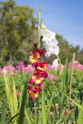 Red and yellow gladiolus with white flower is back in the garden on blue sky Stock Photos