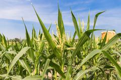 Corn field close up on blue sky background Kuvituskuvat
