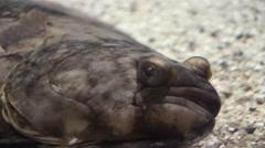 A closeup of a atlantic halibut Arkistovideo