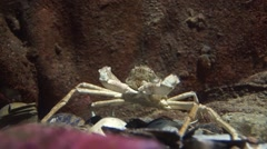 A spider crab Stock Footage