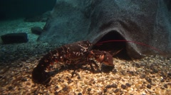 A live lobster looking for food.  Stock Footage