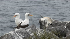 Nazca booby pair preening at isla espanola in the galapagos Stock Footage
