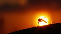 Mosquito blood sucking on human skin on sun background Stock Footage