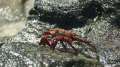 Tracking  shot of a walking sally lightfoot crab at santa cruz in the galapagos Stock Footage