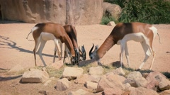 African antelopes at zoo Stock Footage