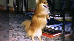 Dog Walks on Hind Legs Does Trick Begs 1960s Vintage Film Home Movie 9799 Stock Footage