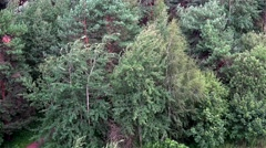 Strong windflaw & beginning of the rain in a pine forest. Stock Footage