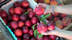 Hands buyer nectarines at the roadside fruit market. Chalcidice, Greece Stock Footage