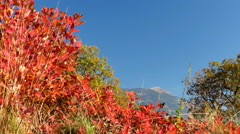 Smoke tree bushes in sunny autumn day Stock Footage