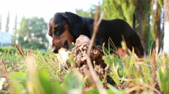 Dachshund dog breed gnaws large branch outdoors Stock Footage