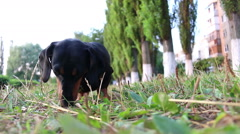 Hunting Dachshund dog breed sniffing on the grass Stock Footage