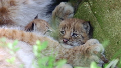 Lynx cubs laying between mother legs close up Stock Footage