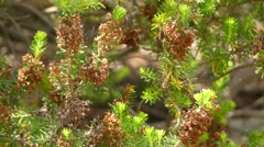 Erica multiflora in heather family, Ericaceae Stock Footage
