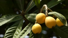 Loquat (Eriobotrya japonica) in family Rosaceae Stock Footage