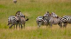 HERD BURCHELL'S ZEBRAS MAASAI MARA KENYA AFRICA Stock Footage