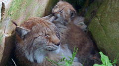 Lynx mother and cub biting her ear Stock Footage