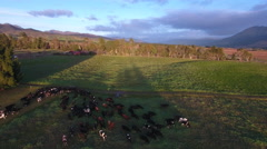 Aerial view of cows moving through farm fence to fresh grazing Stock Footage