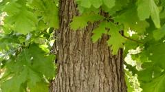 Quercus macrocarpa ( bur oak) Stock Footage
