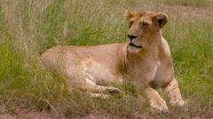 LIONESS SAT IN LONG GRASS MAASAI MARA KENYA AFRICA Stock Footage