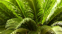 Cycas revoluta (sago palm, Japanese sago palm) Stock Footage