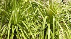 Beaucarnea longifolia (Nolina) Stock Footage