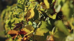 Grape Vine Stalks Rack Focus Stock Footage