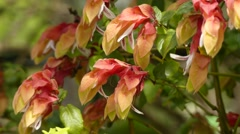 Justicia brandegeeana (Mexican shrimp plant) Stock Footage