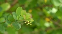 Berberis vulgaris (European barberry) Stock Footage