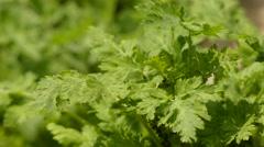 Tanacetum parthenium Aureun, feverfew Stock Footage