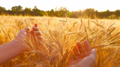 Caressing wheat field at sunset, slow motion Stock Footage